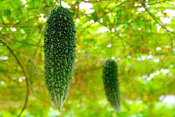 growing-bitter-melon-vines